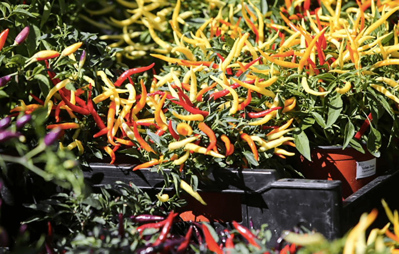 the_eighth_great_dorset_chilli_festival_1523008053-min